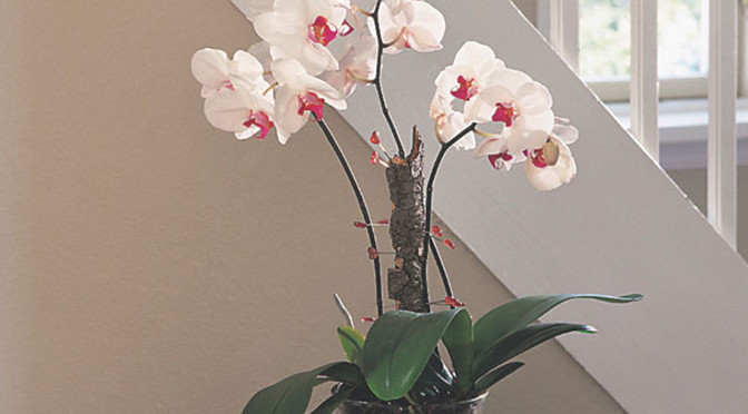 Those gifted Orchids…a Bit of History