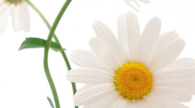 Flower of April: The Daisy