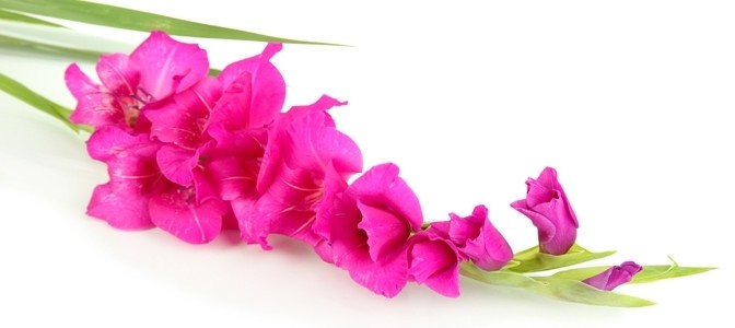 August Flower of the Month – Gladiolus