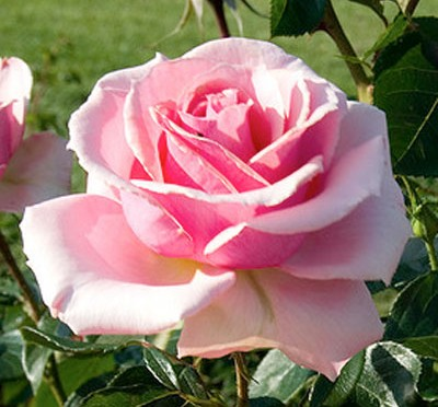 June Flower of the Month – Rose