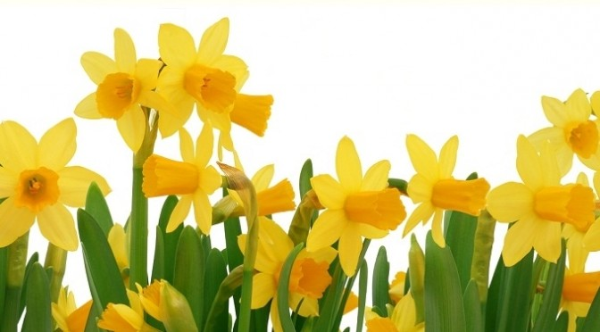 March Flower of the Month – Narcissus (aka Daffodil, Jonquil)