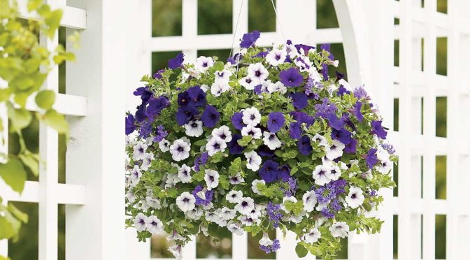 Caring For Hanging Baskets