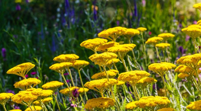 6 BEAUTIFUL AND DEER RESISTANT PERENNIALS