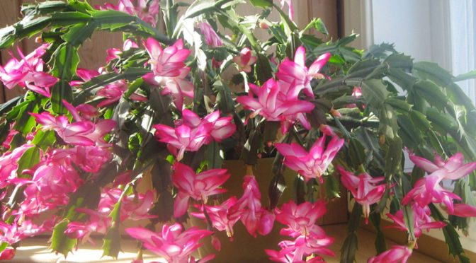 Caring For Christmas Cactus