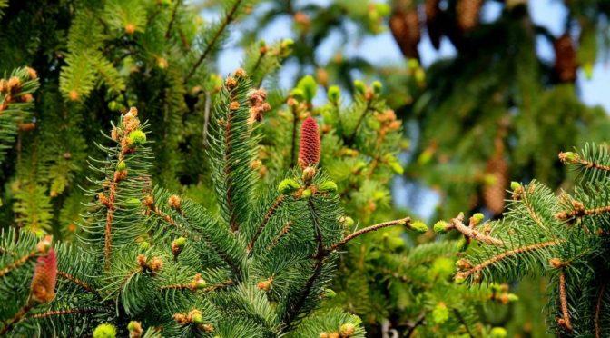 Planting a Live Christmas Tree