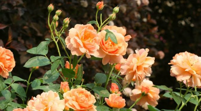 An Easier Approach To Roses
