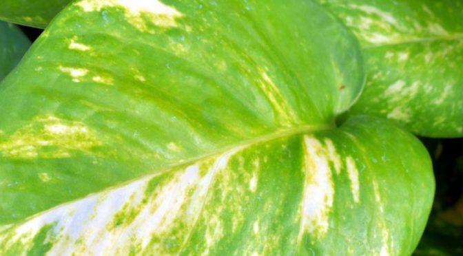 March Houseplant of the Month – Pothos
