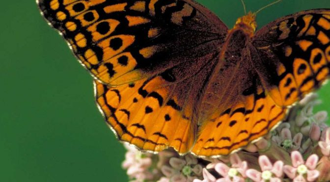 Got Milkweed? Butterflies love this plant and you should too!
