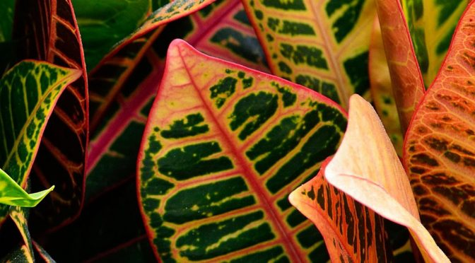 Houseplant of the Month – Croton