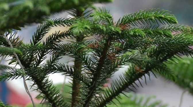 Houseplant of the Month: Norfolk Island Pine