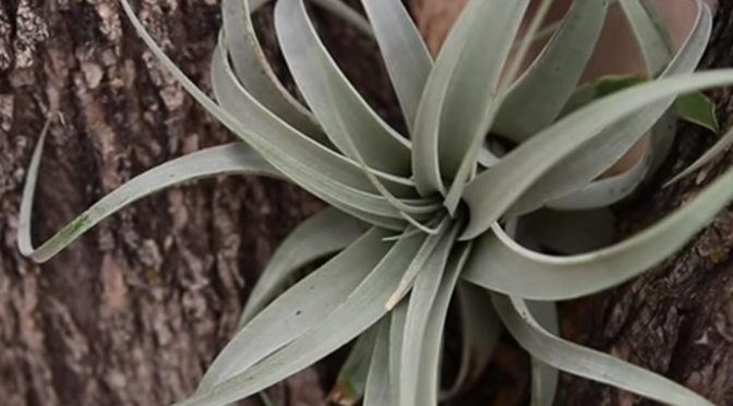 Beginners Guide to Airplants