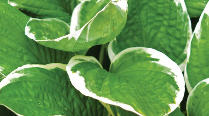 Perennial of the Month: Hosta