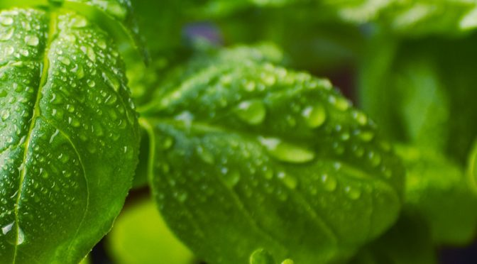 How to Prune Basil Plants