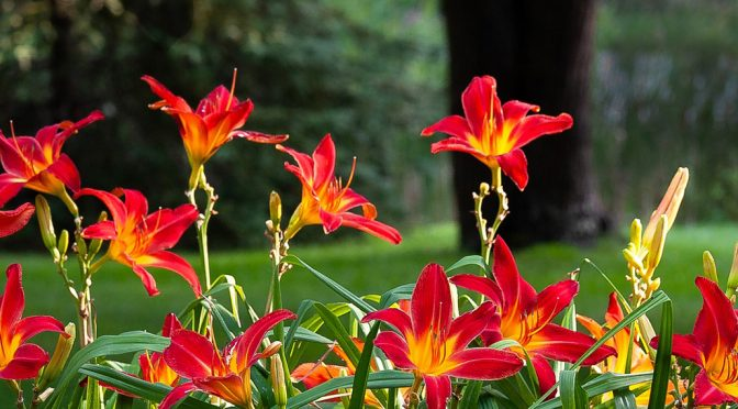 Perennial of the Month: Daylily