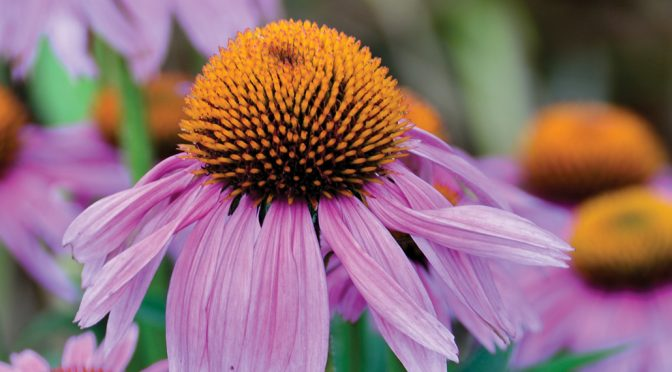 Perennial of the Month: Coneflower
