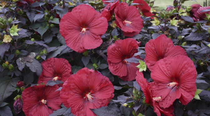 Perennial of the Month: Hardy Hibiscus