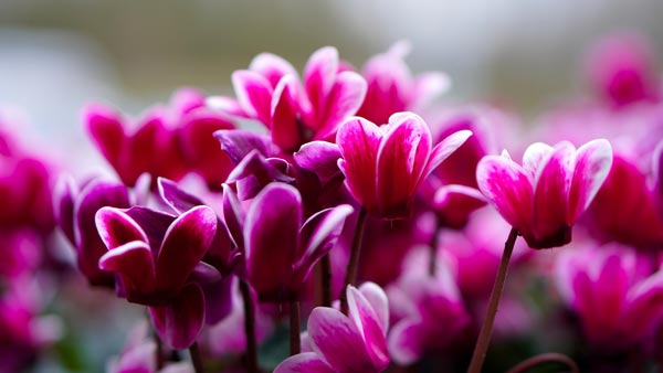 Houseplant of the Month: Cyclamen