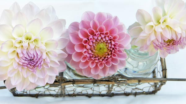 Storing Your Dahlias
